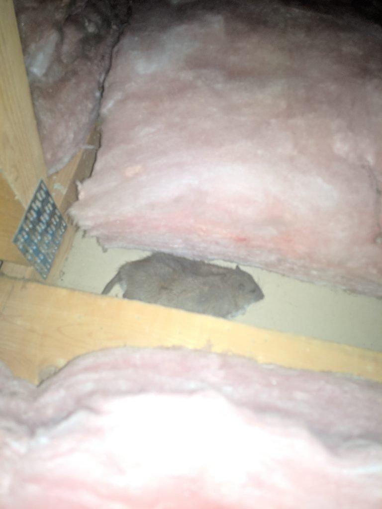 rat in my attic