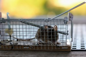 How To Get Rid Of A Rat In Your House traps