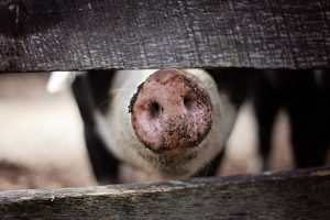 pig snout, sniffing through gate