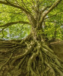 Large tree, big roots, offering cover