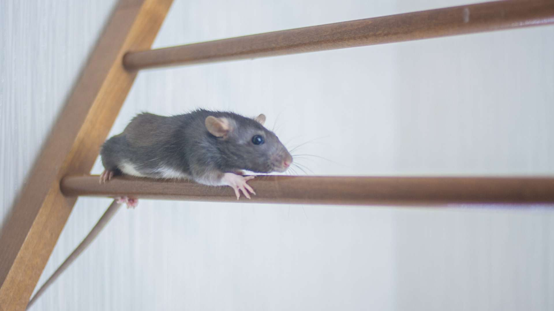 What Surfaces Can Rats Climb