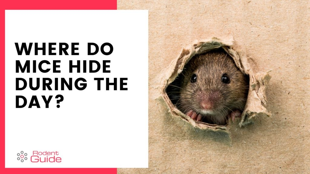 10 places mice hide during the day
