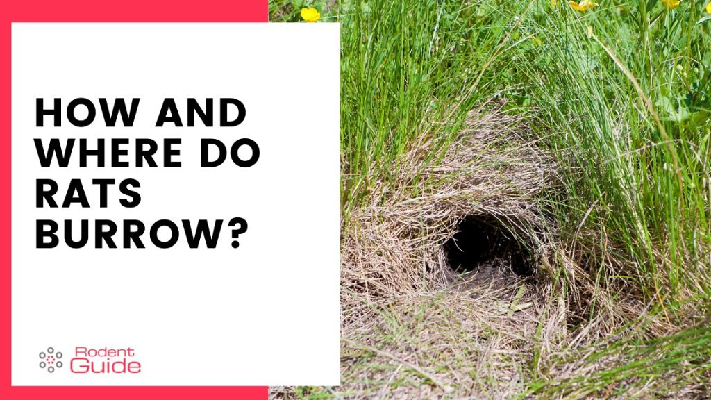 How and where do rats burrow