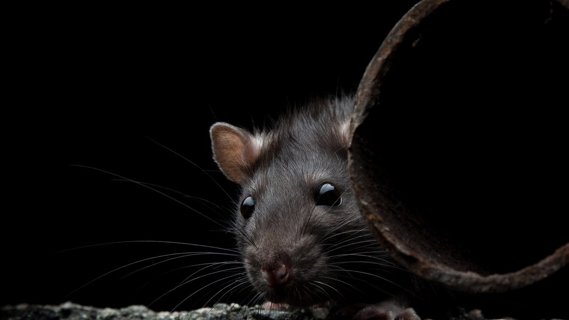How to Get Rid of Rats in The Garage