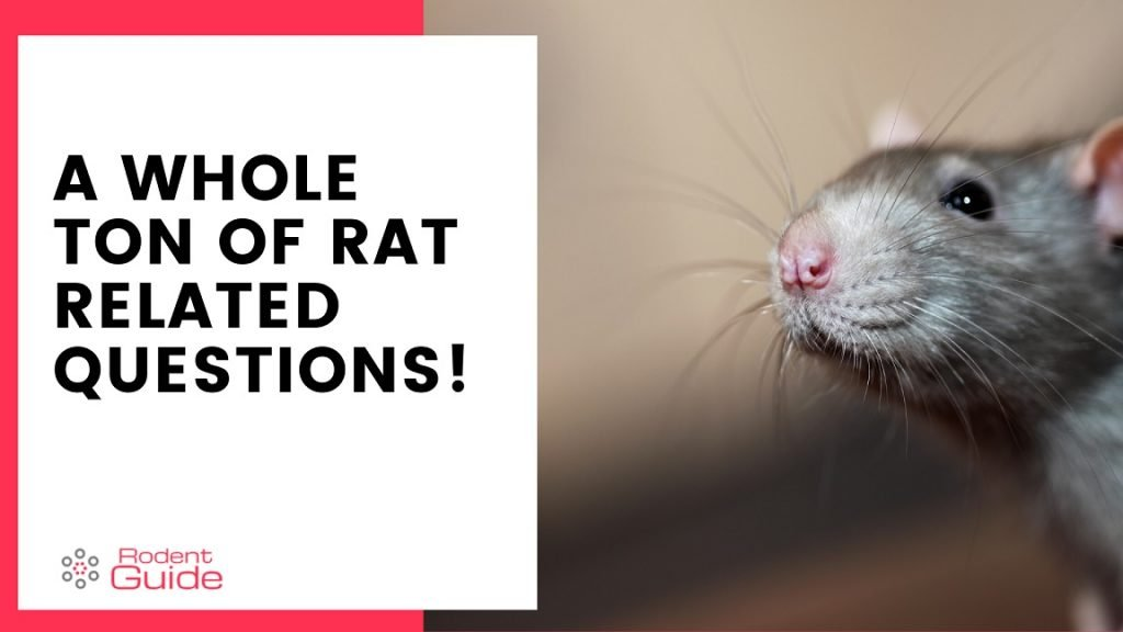Tons Of Rat Related Questions