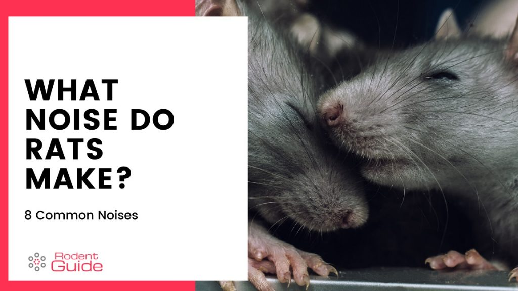 What Noise Do Rats Make 8 Common