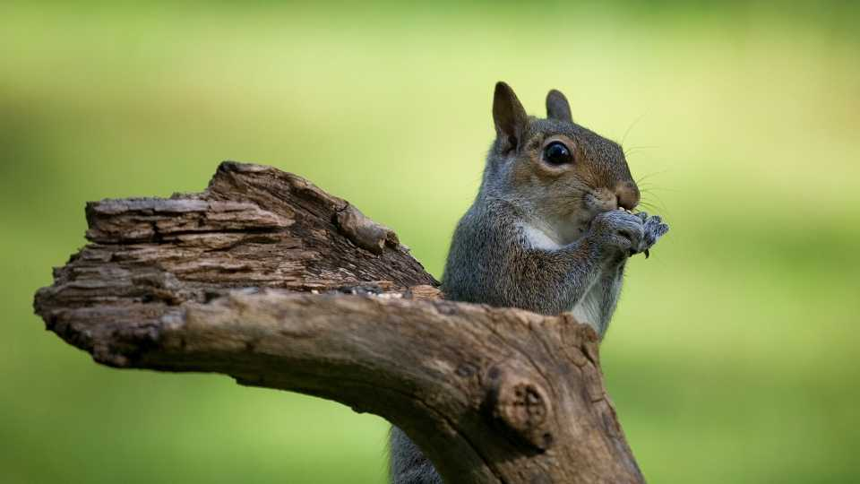 Do Squirrels Eat Meat