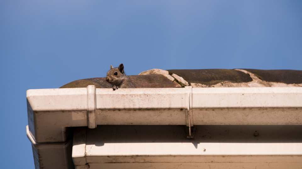Signs of Squirrels in Your Attic