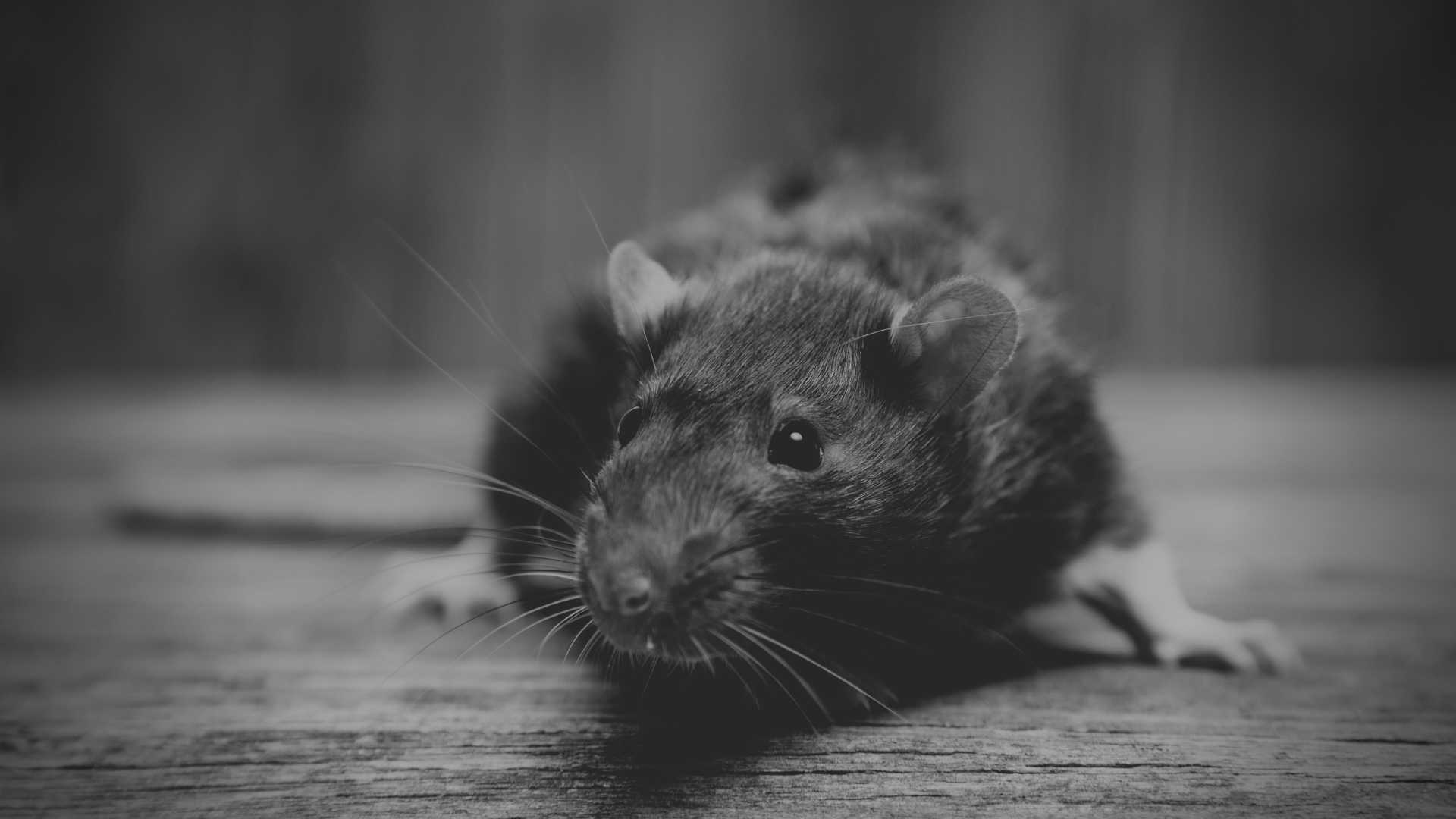 how does rat poison work to kill rats